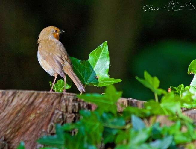 Robin Red Breast Photo on a Tree Stump