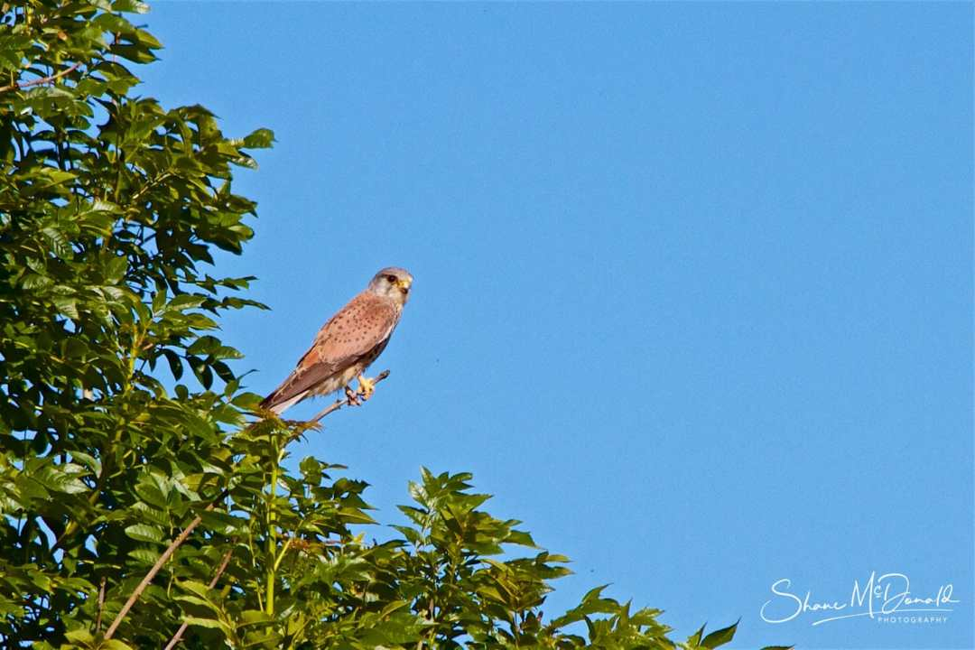Wildlife Photography on the Isle of Wight - Male Kestrel