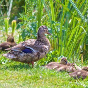 The Ducks on Buriton Lake