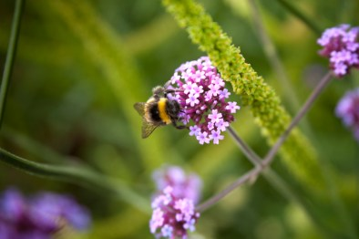 Wildlife gardens attract pollinators such as this bee on a verbena flower.
