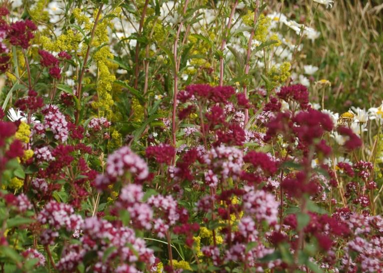 Origanum vulgare - ORIGANO. Wildlife Gardens.