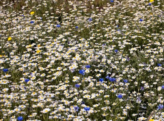 Centaurea cyanus - CORNFLOWER meadow. Wildlife gardens.