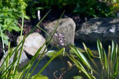 pond, wildlife garden, Bute Park Cardiff, My Wild Garden, Wildlife Trust
