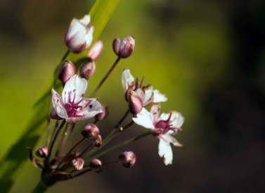 Flowering Rush, wildlife trust