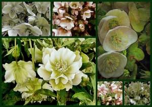 beautiful Lenten Rose