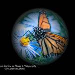 monarch-globe-3