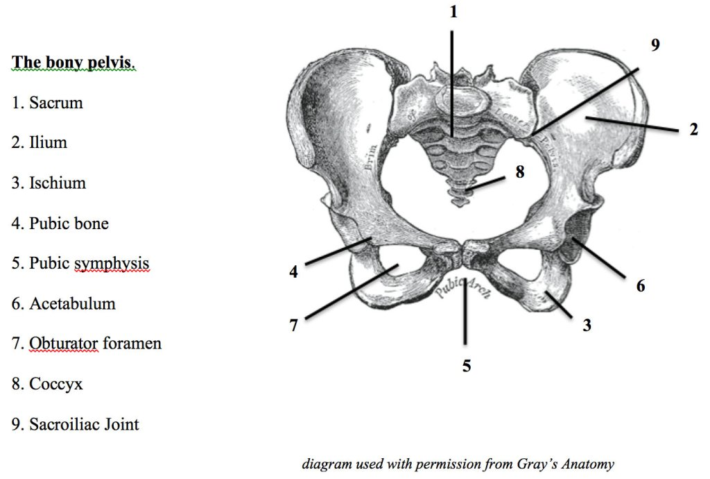 Bony anatomy of pelvis