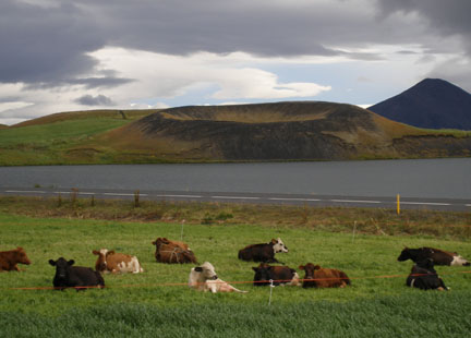Some cows hanging out in front of a pseudocrater near Lake Mývatn