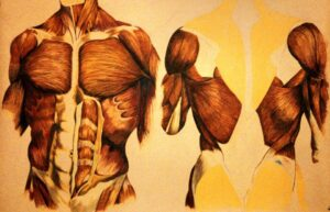 Male Torso. Colored Pencil