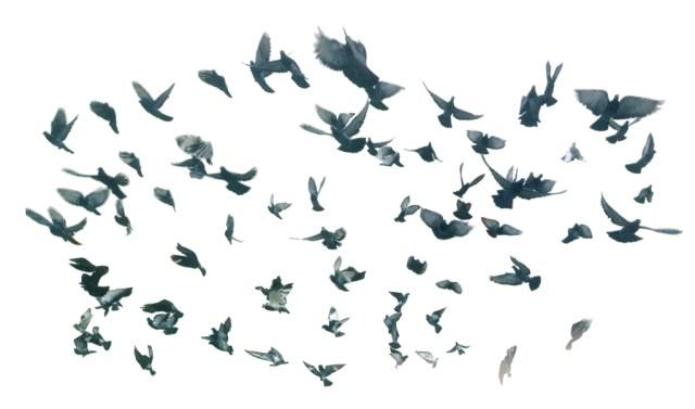 pigeonSwarm