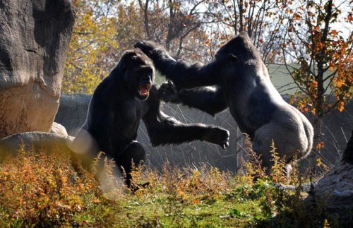 Photos-Of-Gorilla-Fighting-3