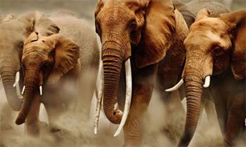 Ivory-Trade