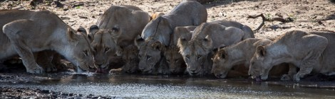 Phinda Private Game Reserve: Lions