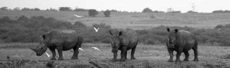 Disappearing Rhinos