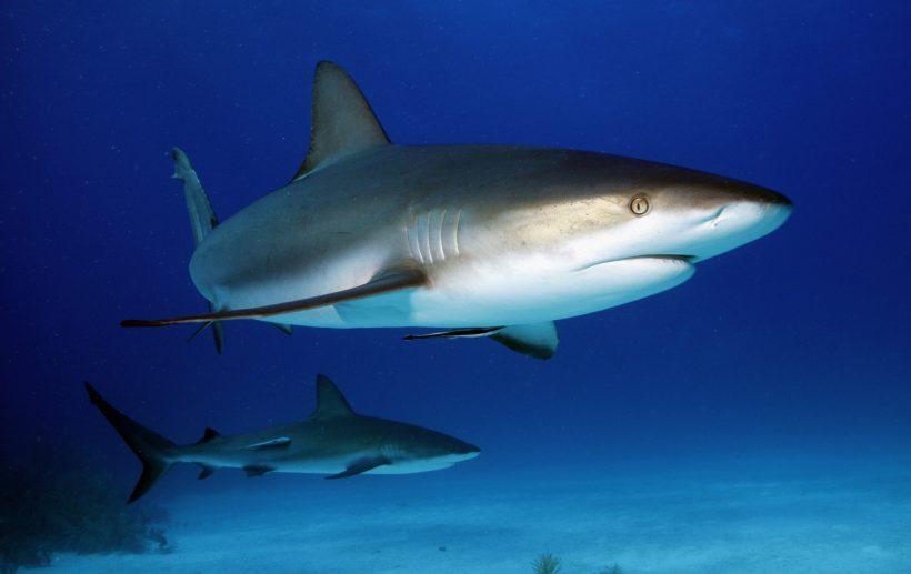Les requins de récifs de La Réunion protégés !