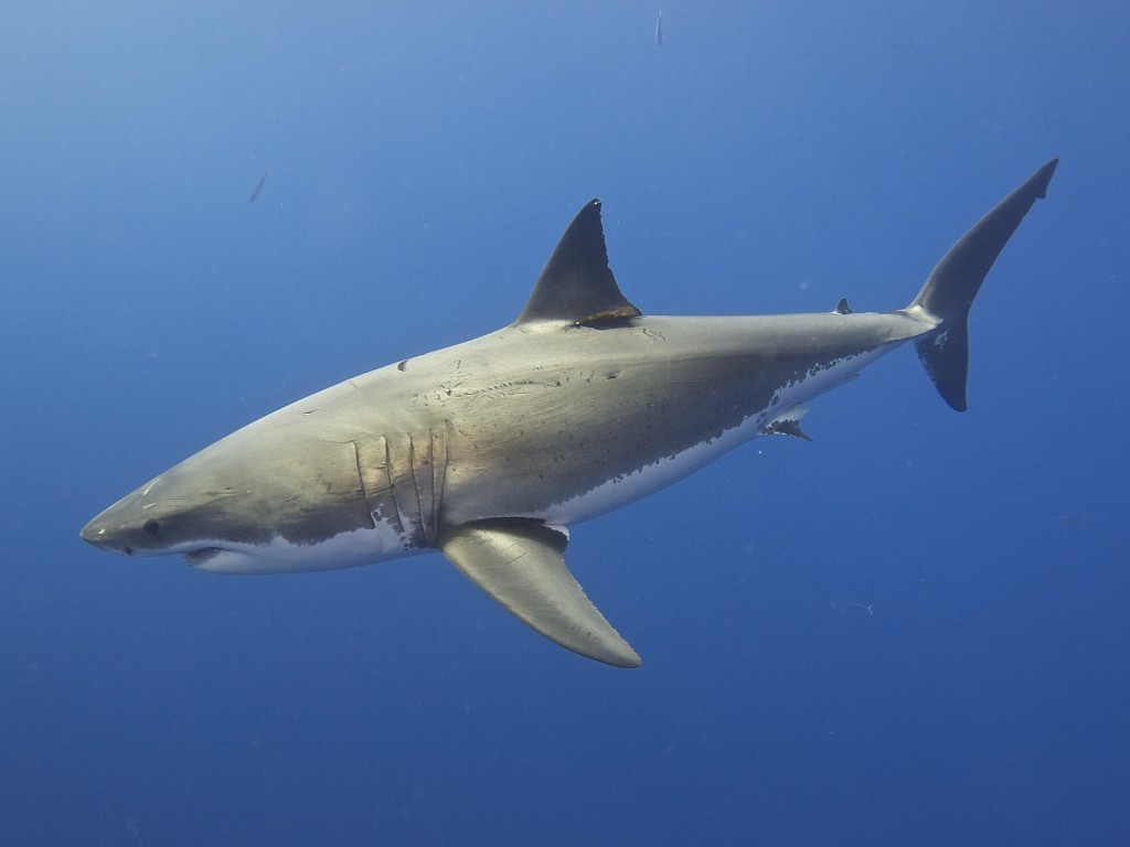 What About Those Great White Sharks Of The Mediterranean