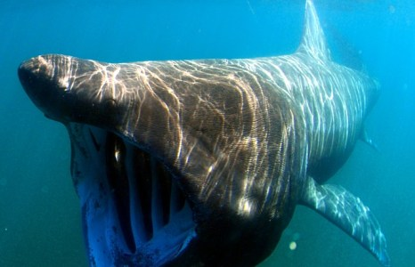 Ireland's basking sharks at risk of extinction