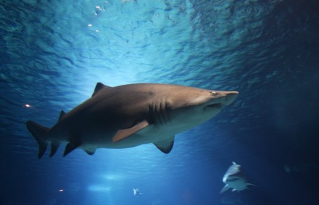 Shark populations in Southeast U.S. show promising gains
