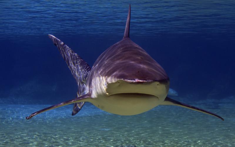 Image result for bull shark
