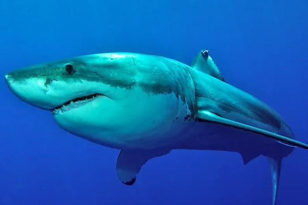 SharkSidercom Learn All About Sharks Shark