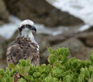 I had daily sightings of Osprey