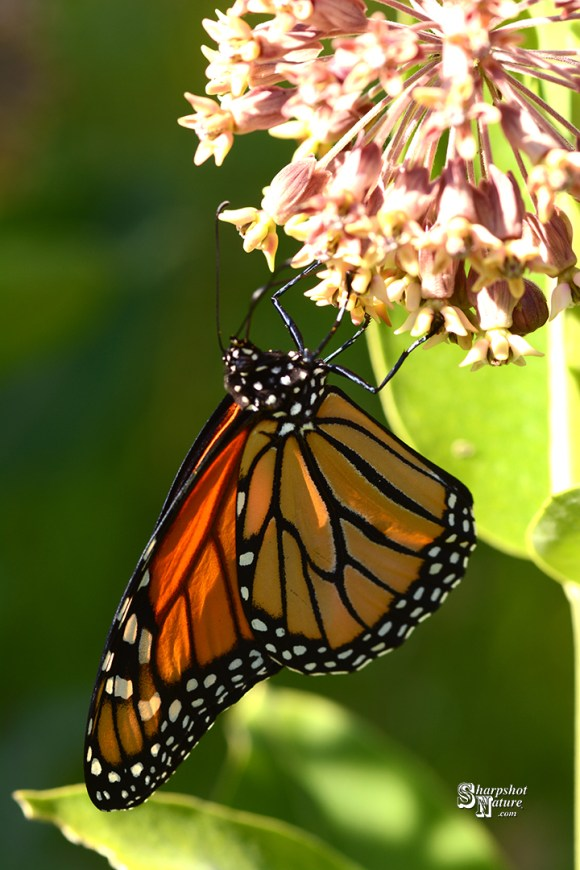 Monarch Monday