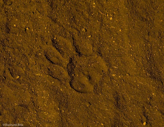 A leopard pugmark, about 500 meters in from the Trevor Tank gate inside the sanctuary