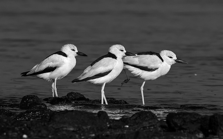Crab-Plovers-B&W-900