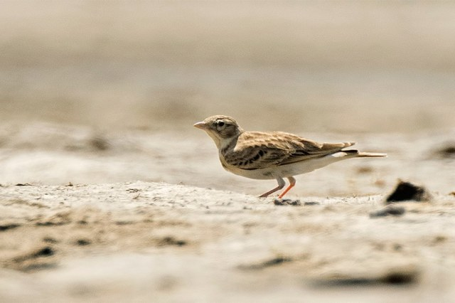 Sykes's short-toed lark, a bird of typically arid habitats