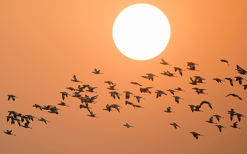 pied-avocets-sunrise-flight-web