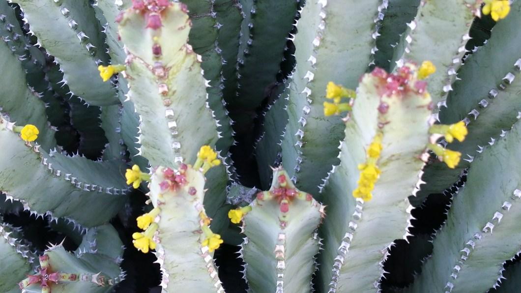 resin spurge in bloom