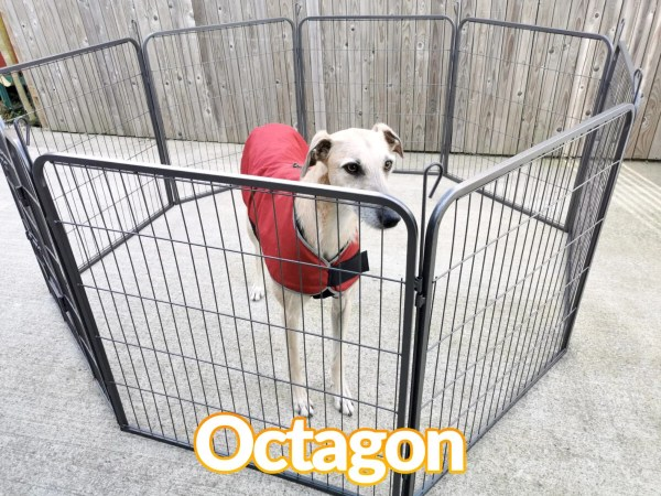 A lurcher dog in a red jacket inside the dog pen which is in the octagon formation