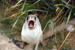 Eine Revier verteidigende Robbe