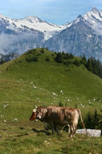Kühe auf der Schynige Platte