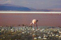 Flamingo an der Laguna Colorada