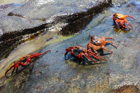 Sally Lightfood Crabs