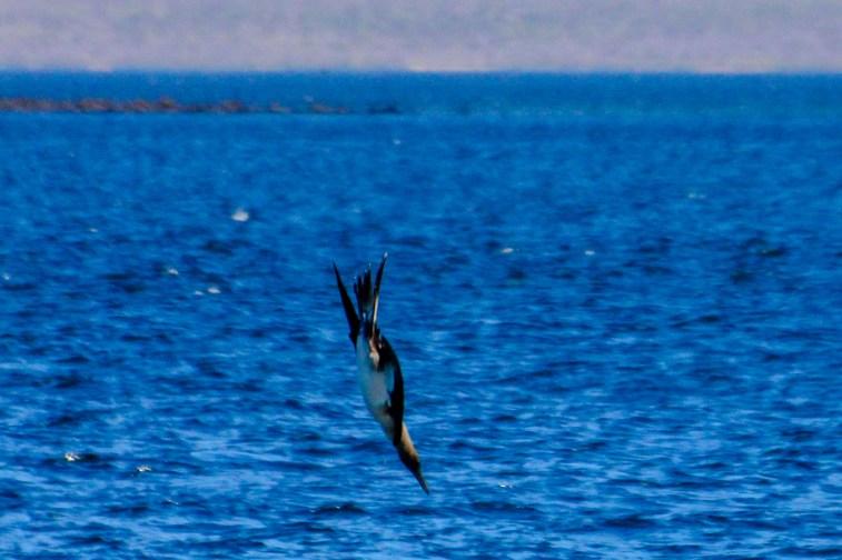 Blaufußtölpel beim Eintauchen, sie treffen mit einer Geschwindigkeit von bis zu 100 km/h auf das Wasser auf