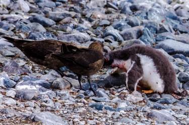 Raubmöwen Angriff auf einen Eselspinguin. Für diesen Pinguin gibt es kein Happy End... In der Mauser sind die Vögel schwach und angreifbar. Ihr komplettes Gefieder wird ersetzt, das heißt, sie fressen sich vorher ordentlich im Meer voll um dann draußen ohne essen rumzustehen, zu frieren und zu warten bis das Gefieder wieder neu und wasserimprägniert ist, damit sie wieder ins Wasser gehen können. Es ist ein traumatisches Erlebnis für die Pinguine, jedes Jahr vor dem Wintereinbruch.