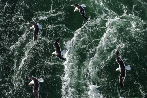 Albatrosse begleiten uns bei der Fahrt durch den Beagle Channel