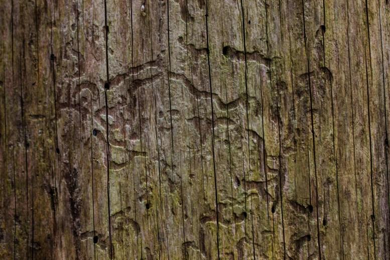 Käferspuren am Baum
