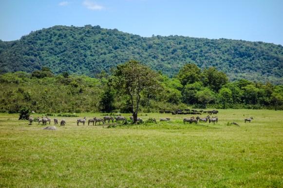 Zebraherde im Arusha Nationalpark