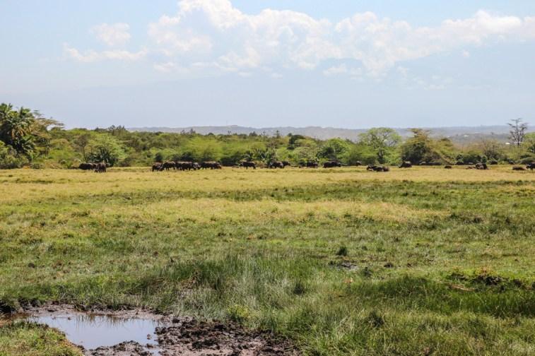 Büffelherde in der Ebene des Arusha Nationalparks
