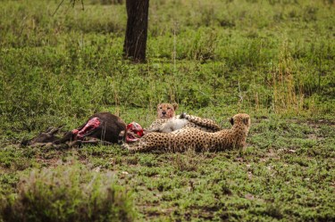 Vollgestopfte und kugelrunde Geparden