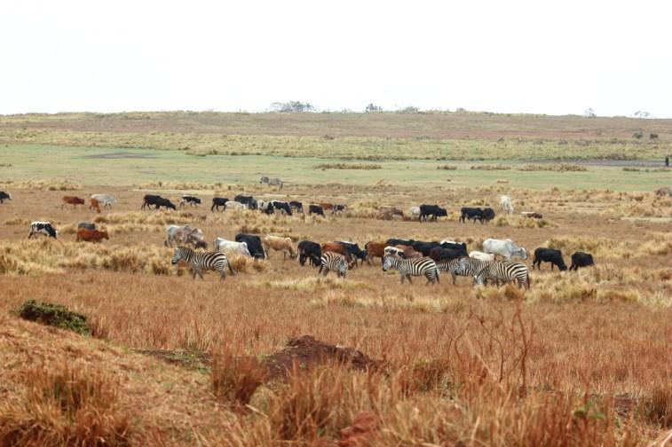 Zebras zwischen Rindern