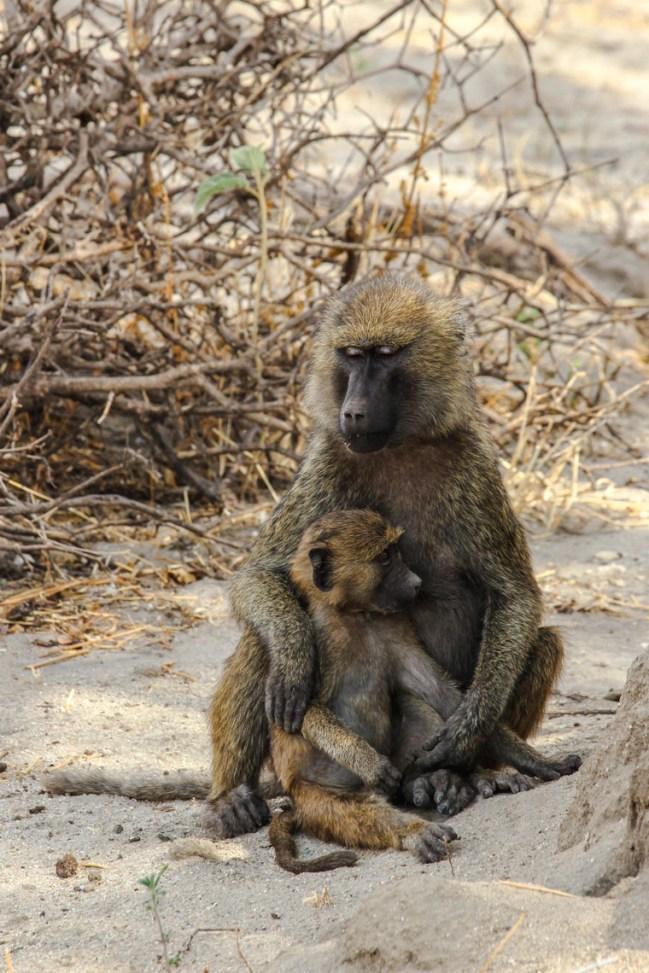 Pavianmutter mit Kind