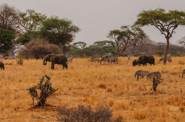 Elefanten und Zebras im Tarangire Nationalpark
