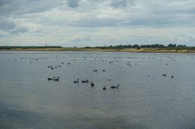 Schwarze Schwäne im New River Estuary