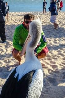 Auge in Auge mit dem Pelikan