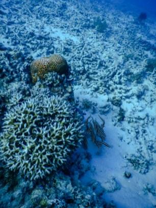 Steinkorallen mit Welsschwarm