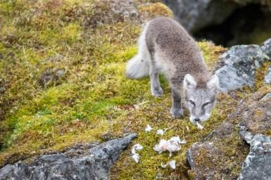Eisfuchs auf der Jagd